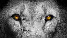 Golden Eyes Lion Face