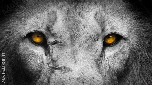 Stickers pour porte Lion Golden Eyes Lion Face
