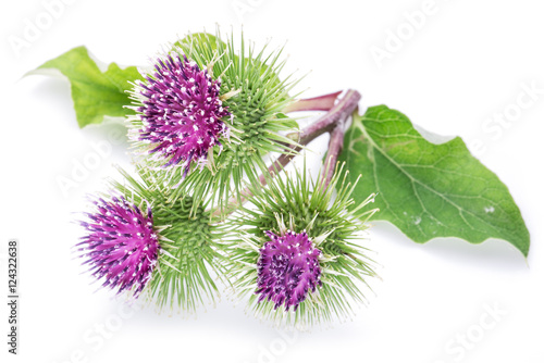 Prickly heads of burdock flowers on a white background. Fototapet