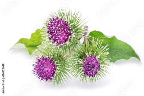 Fotomural Prickly heads of burdock flowers on a white background.