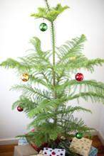 Norfolk Island Pine Christmas Tree
