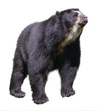 Andean Bear (Tremarctos Ornatu...