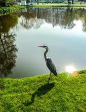 Heron Walking Walking By The Pond.