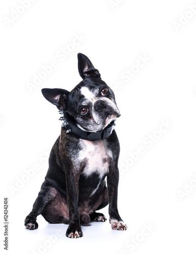 Valokuva  Chien boston terrier et collier à clous de face