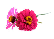 Colorful Zinnia Flowers Isolat...