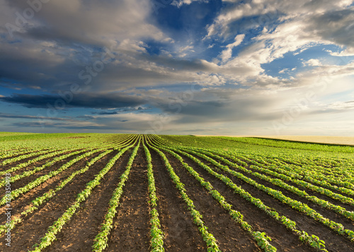 Garden Poster Culture Young green soybean crops at idyllic sunny day