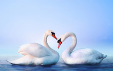 White Swan In The Foggy Lake At The Dawn. Morning Lights. Romantic Background. Beautiful Swan. Cygnus. Romance Of White Swan With Clear Landscape.
