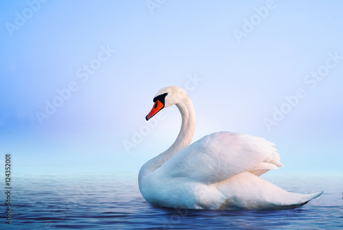 Foto op Canvas Zwaan White swan in the foggy lake at the dawn. Morning lights. Romantic background. Beautiful swan. Cygnus. Romance of white swan with clear landscape.