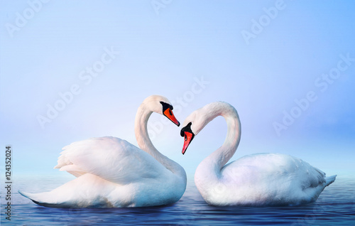 Foto op Aluminium Zwaan White swan in the foggy lake at the dawn. Morning lights. Romantic background. Beautiful swan. Cygnus. Romance of white swan with clear landscape.