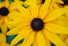 Perfect Yellow Black Eyed Susan Garden