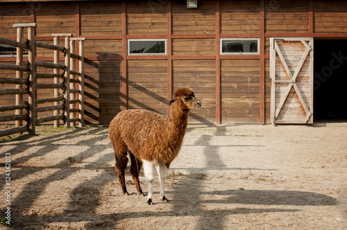 Profile brown alpaca with white front legs