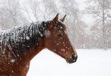 Fototapeta Konie - Red bay horse in heavy sbow fall with snow all over her