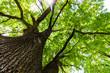 canvas print picture - Blick in die grüne Baumkrone einer Eiche