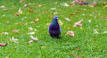 Pigeon Bird On Grass