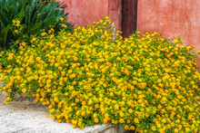 Bush Of Yellow Lantana