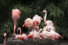 Nesting Flamingos Flock