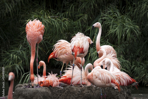 Photo  Nesting Flamingos Flock