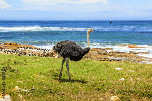 Side view of Ostrich walking in wild coast at the Cape of Good Hope in Table Mountain National Park, South Africa.