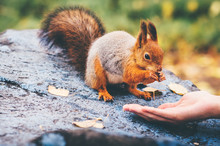 Squirrel Eating Nuts From Woman Hand And Autumn Leaves On Background Wild Nature Animal Thematic (Sciurus Vulgaris, Rodent)