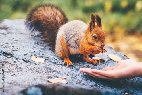 Fotografía  Squirrel eating nuts from woman hand and autumn leaves on background wild nature