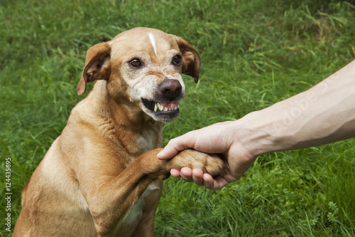 Photo Unfriendly hand and paw shake. A brown dog in the grass.