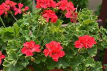 Closeup Of Shrub Of Red Geranium Flowers In Ornamental Garden