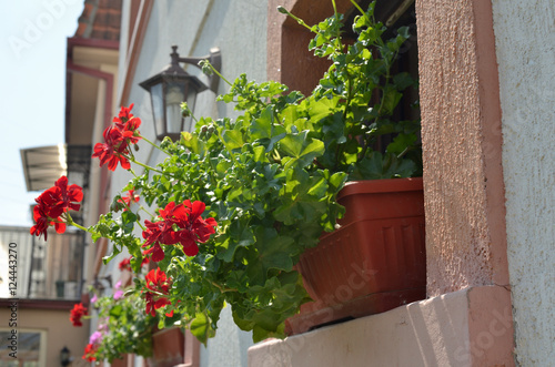 Papiers peints Narcisse Closeup of red Geranium flowers potted on house window