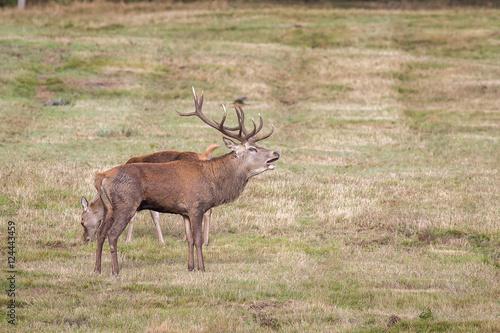 Deurstickers Hert Red Deer Stag