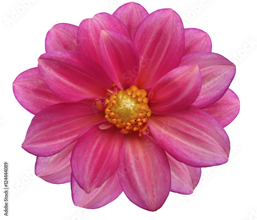 Poster Rose pink flower garden, white isolated background with clipping path. Nature. Closeup no shadows. yellow center.