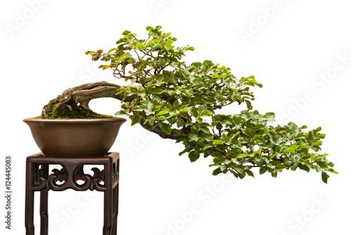 Buche (Fagus sylvatica) als Bonsai Baum und Halbkaskade