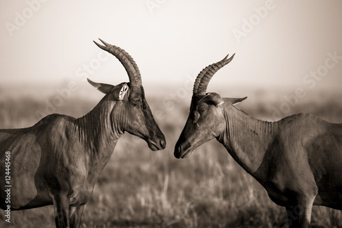Fotografía  Two topi antelope staring at each other nose to nose in Kenya's Masai Mara Natio