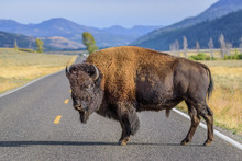A Large Male Bison Is Blocking...
