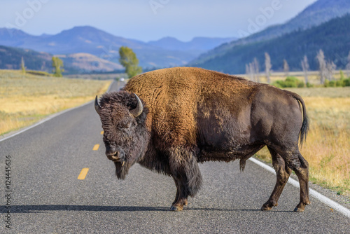 Poster de jardin Buffalo A large male bison is blocking the road