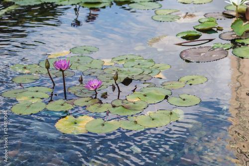Deurstickers Waterlelies beautiful lotus flower in pond.