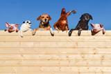 Fototapeta Zwierzęta - Ziemlich beste Freunde - Gruppe Haustiere auf einer Bretterwand, textfreiraum