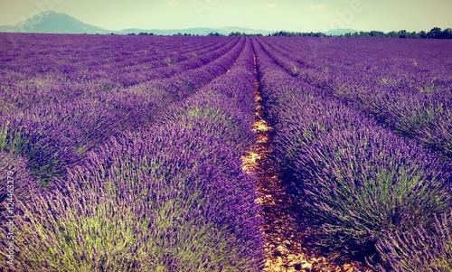 Poster Prune il magico viola della lavanda francese