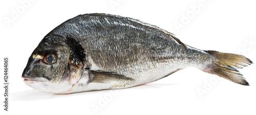Fish Gilthead (Sparus aurata L.) Canvas Print