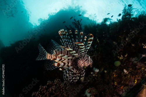 Lionfish on Reef Drop Off in Raja Ampat Poster