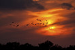 Sandhill Cranes flying in the sunset