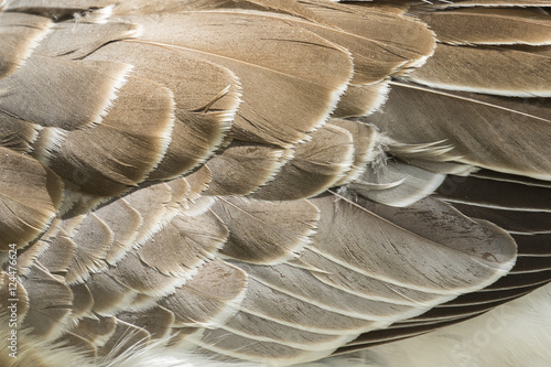 Photo sur Toile Les Textures Image of an wing goose. Background texture.