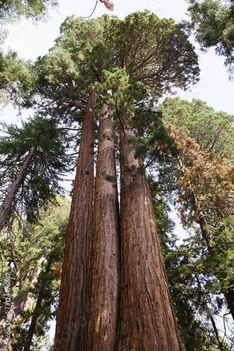 Keuken foto achterwand Verenigde Staten Sequoia Tree in Sequoia National Park