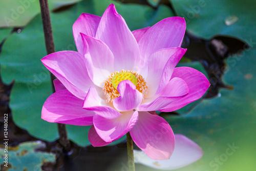 Photo Stands Lotus flower Flowers lotus pink.