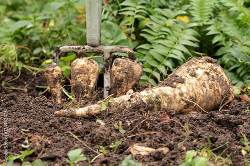 Fotografie, Obraz Pastinaken aus Bioanbau aufgraben