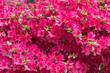 Leinwandbild Motiv Rhododendron flower
