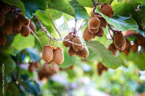 Kiwi tree with fruit and leaves
