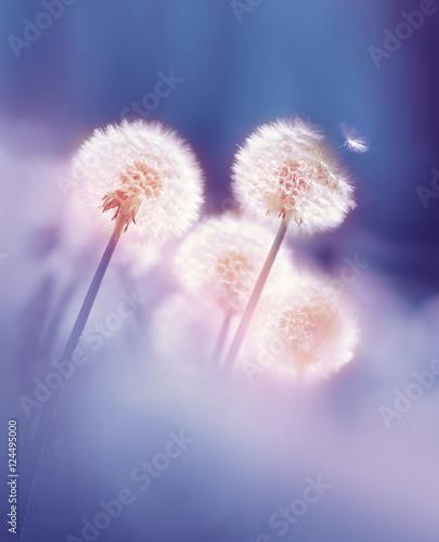 Obraz Dandelions in the morning sun on a blue background. Seeds of dandelion wind blows. - fototapety do salonu