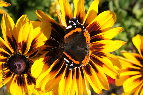 Fotografija  Yellow and brown rudbeckia or Black-eyed-Susan flower in garden with peacock butterfly on it