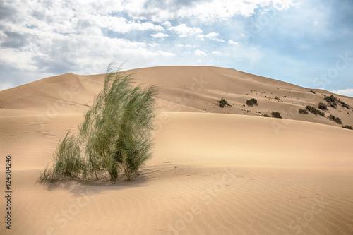 Large sand dune and saxaul is  in Kazakhstan, Altyn Emel Wallpaper Mural