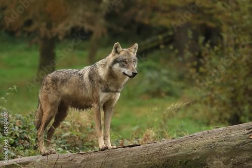 Papiers peints Loup Le loup gris