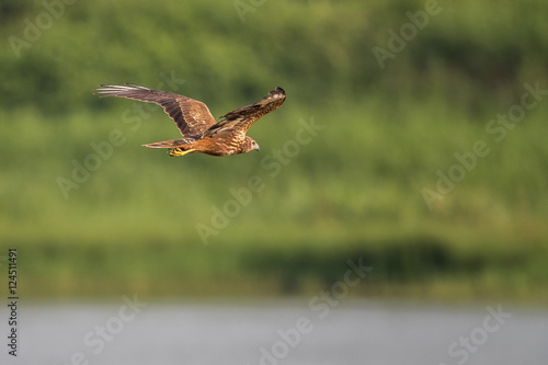 Photo  Eastern Marsh Harrier (Circus spilonotus) in flight